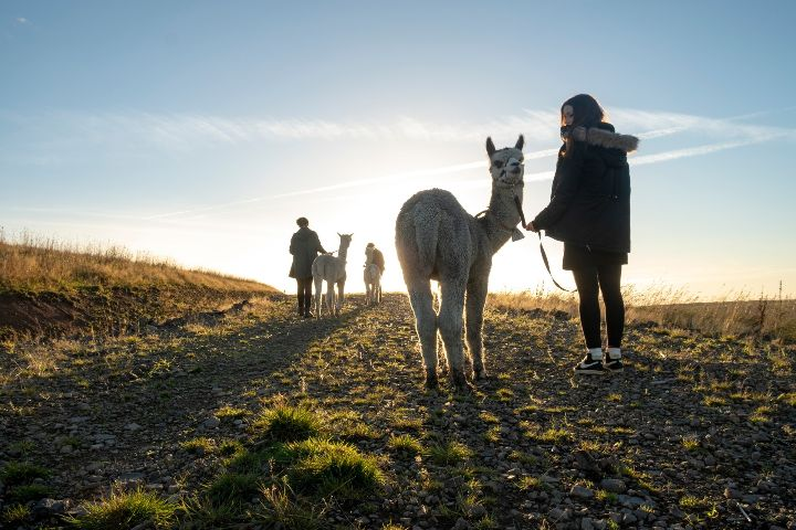 Alpaca Trekking in the Cheviots